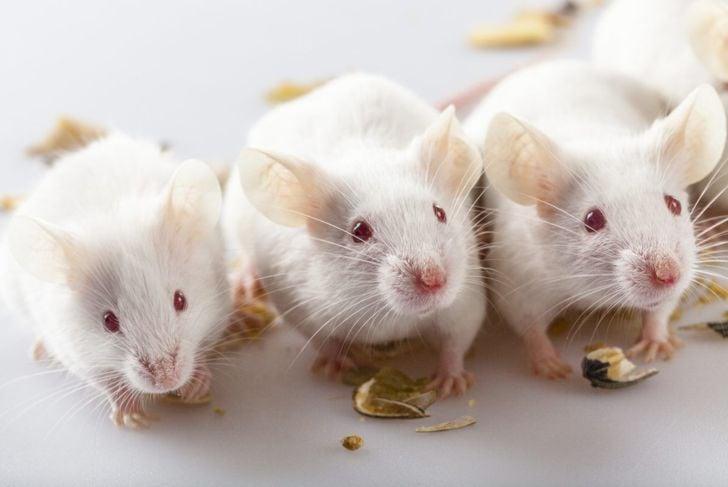 Trio of albino pet mice
