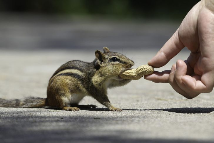 chipmunk, handling, cuddle, petting