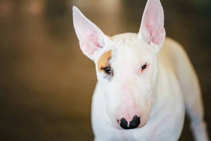 comedic good natured bull terrier