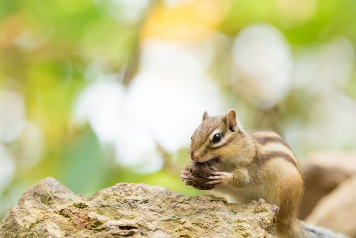 chipmunk, nuts, food, diet, eating