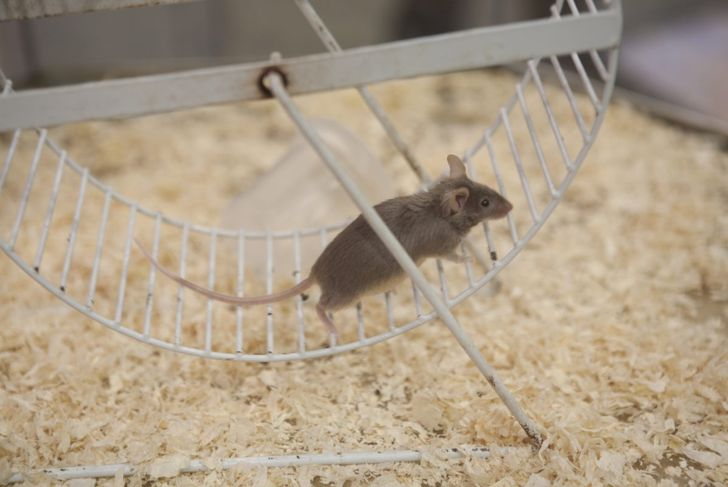 Pet mouse on exercise wheel