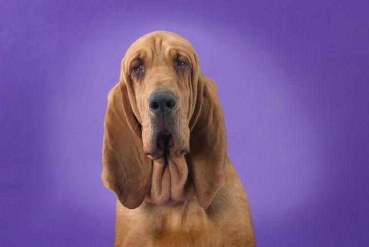 grooming daily weekly ears bloodhound