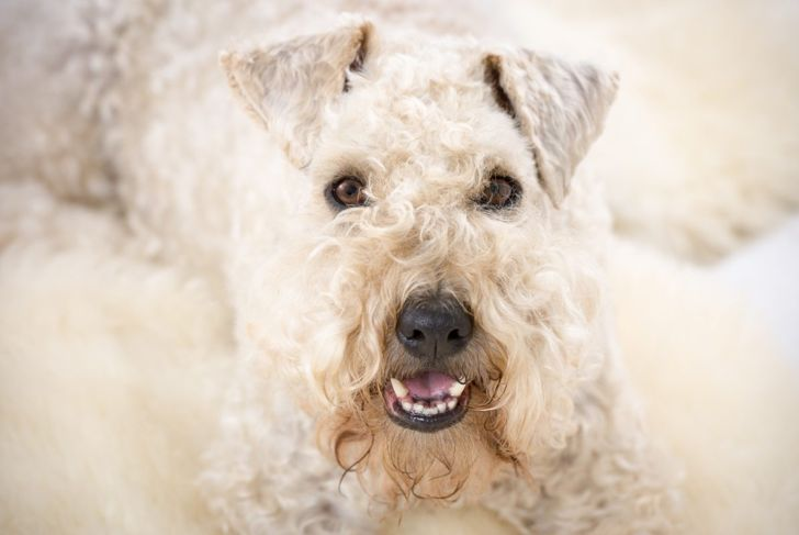 larger terrier soft coated wheaten
