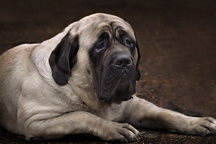 Mastiff relaxing