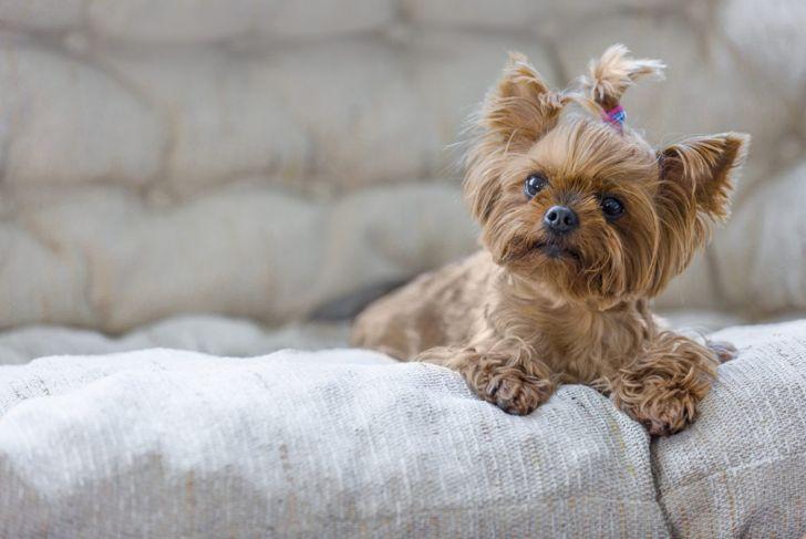 feisty dainty yorkshire terrier yorkie