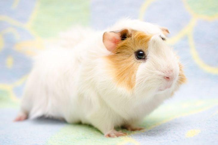 personality mischeviousness vocal guinea pig