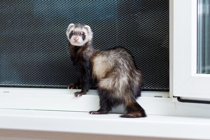 Ferret standing next to open window sill.