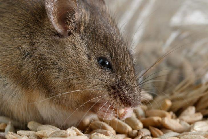 Pet mouse nibbles food