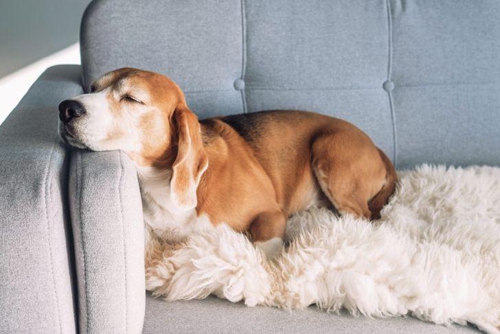 tired dog lethargic sofa