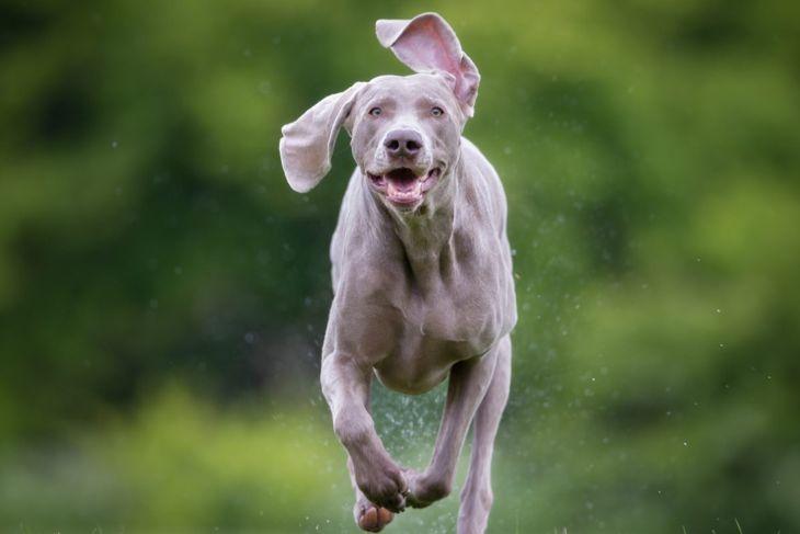 intelligent chewing barking independent weimaraner