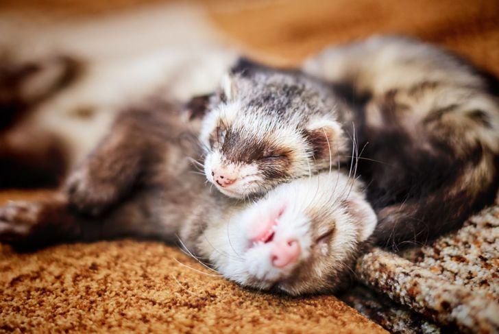Two ferrets sleeping.