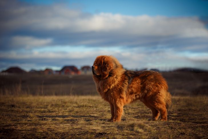 dog of the Tibetan Mastiff breed on the background of a beautiful landscape.