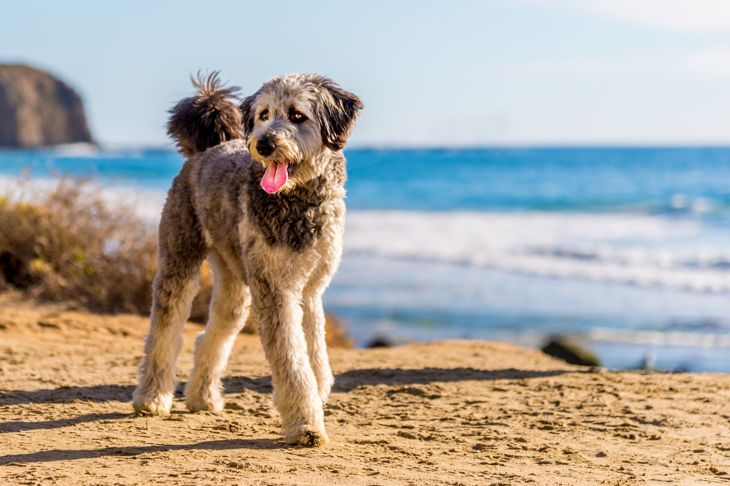 Aussiedoodle playing on beach