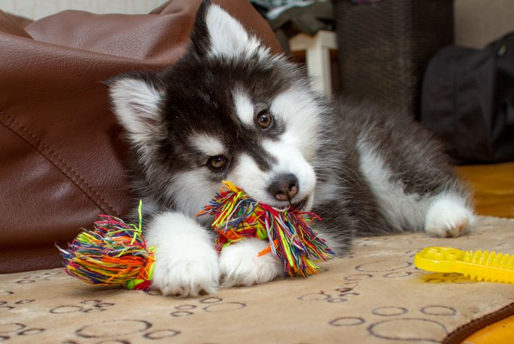 Little husky dog playing with rope toy