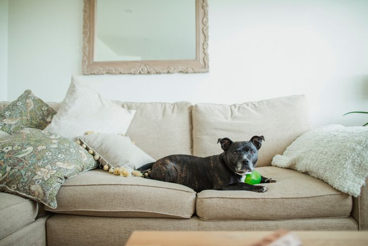 A front view close-up shot of a cute Staffordshire bull terrier, he can be seen lying down on a sofa with a chew toy in a living room.