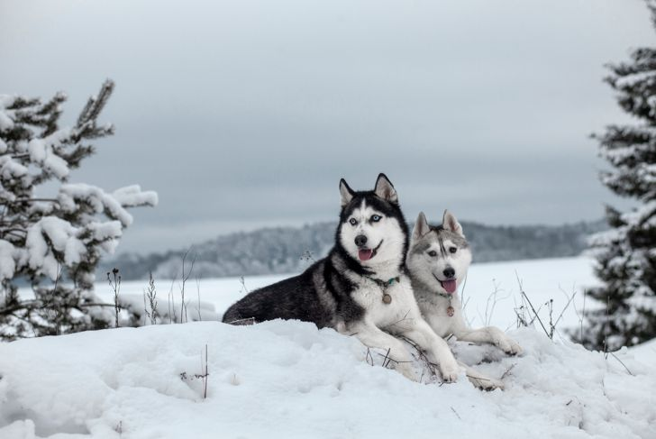 Siberian Husky in winter snow