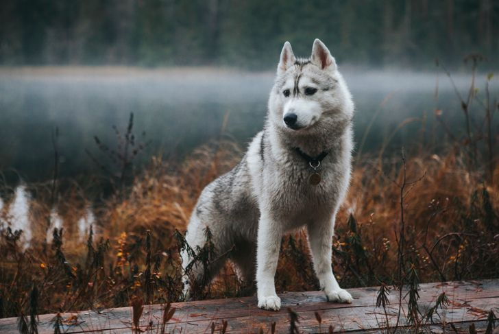 Siberian husky dog on the shore of a foggy lake