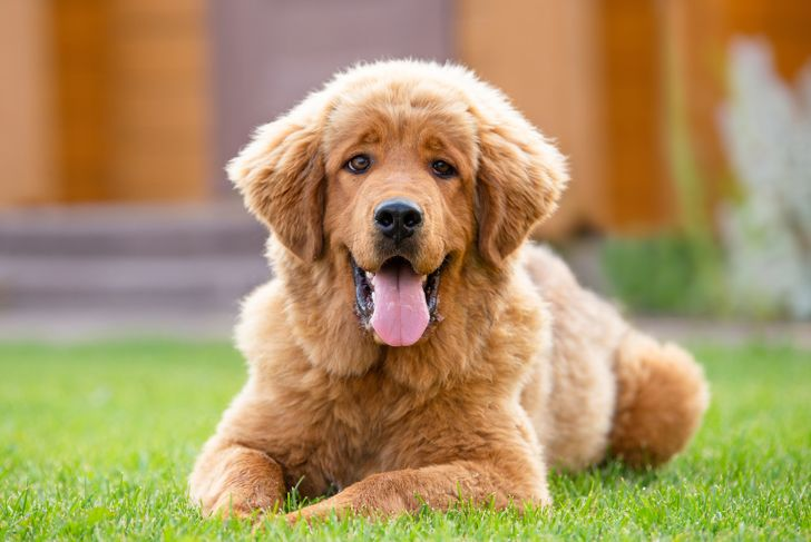 A very positive red puppy is lying on a green lawn, looking at the camera and smiling. Tibetan mastiff puppy