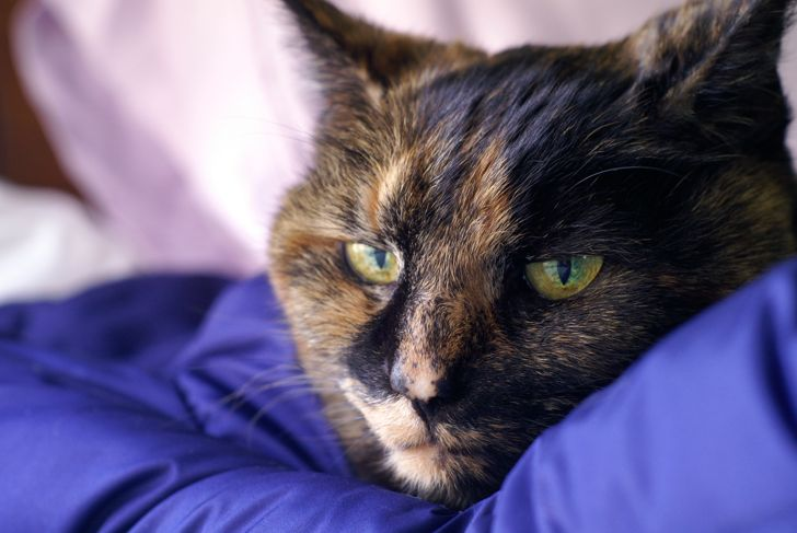 Sixteen year old cat suffering from Chronic Renal Failure, common in older cats.  Her sunken eyes are a sign of the disease and the dehydration that goes along with it.