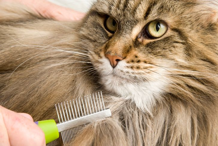 A Maine Coon Cat gets groomed.  Closeup of comb and cat's face.  Also showing a bit of groomers hands.
