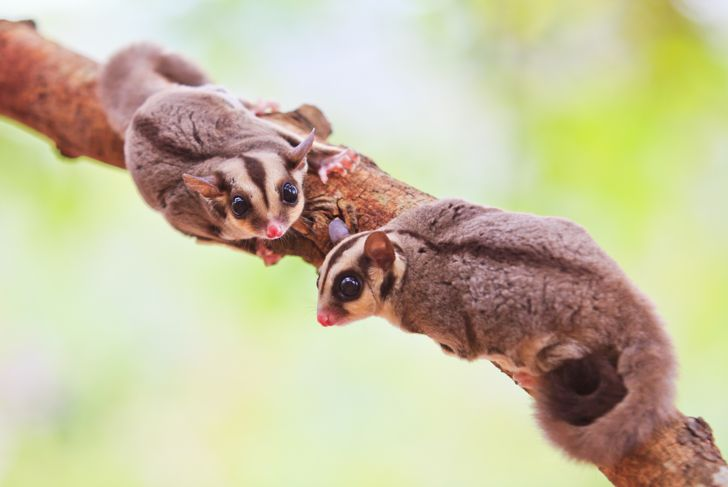 Sugar glider lived in continent Austen lick