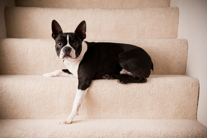 Color photo of a purebred Boston Terrier dog lying on steps.