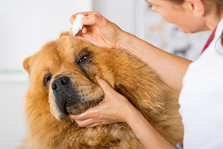 Veterinary placing a few drops of eye drops dog Chow Chow