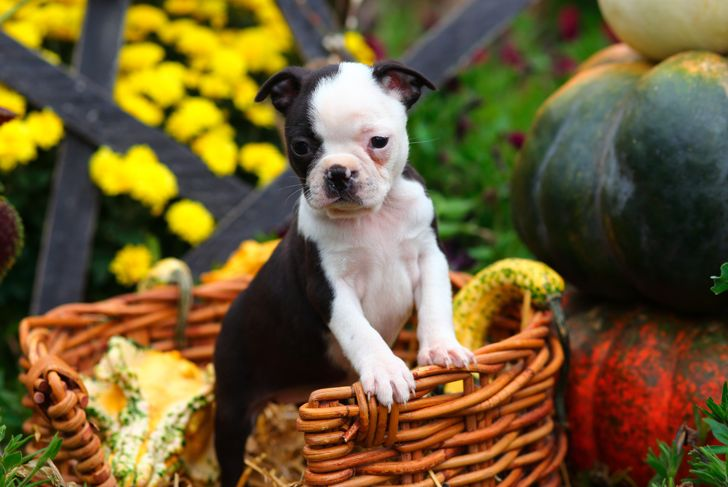 An adorable black and white Boston Terrier puppy stands inside a wicker basket and is surrounded by seasonal Fall decorations.