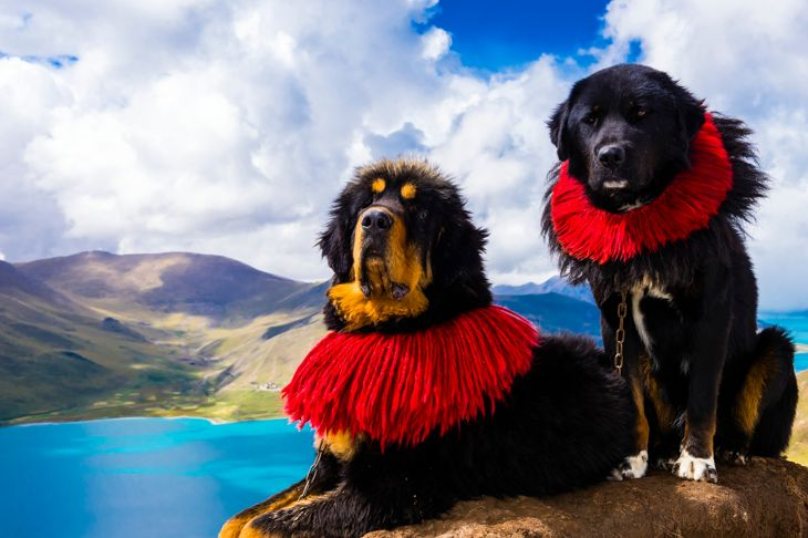 Tibetan Mastiff dogs, 15820 foot Kambala Pass (with Yamdrok Tso Lake in background), Tibet (Xizang), China.
