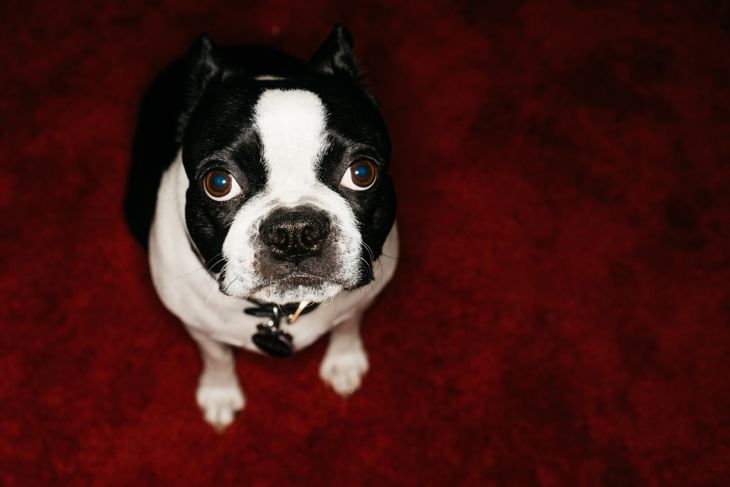 Boston Terrier looking into camera
