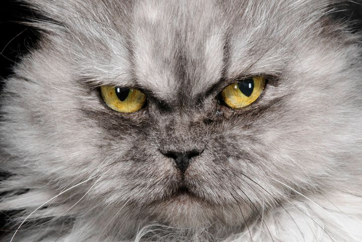 cat's eyes, portrait of Domestic Cat with long gray fur and yellow eyes, looking at camera