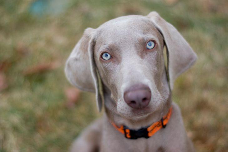 Weimaraner Dog Puppy