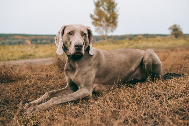 Hunting dog lying on a grass and looking at camera