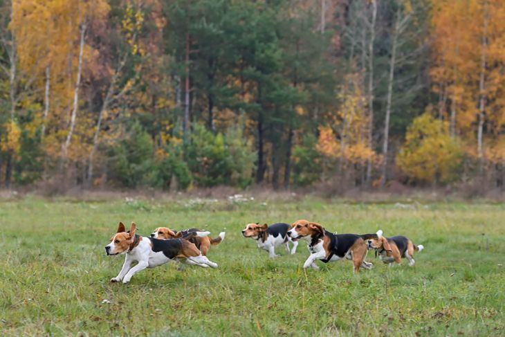 Happy beagles having a fun on a autumn backgraund
