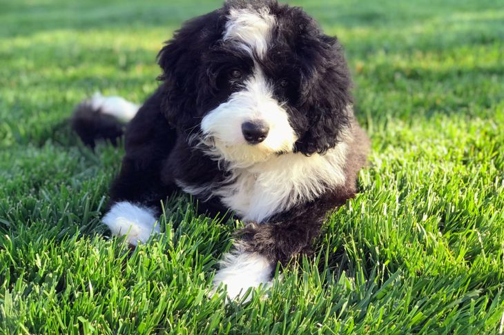 Bernedoodle puppy close-up in grass