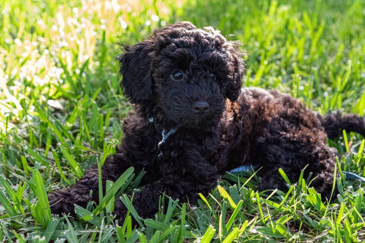 schnoodle puppy dog laying down in long grass