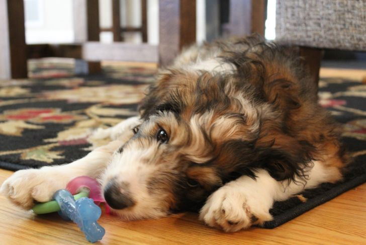 Three month old Bernedoodle puppy playing with her chew toy