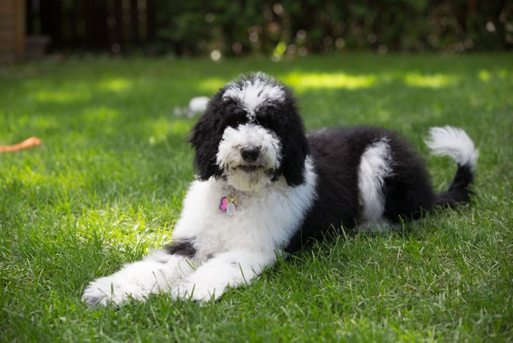 Sheepadoodle dog black and white fluffy
