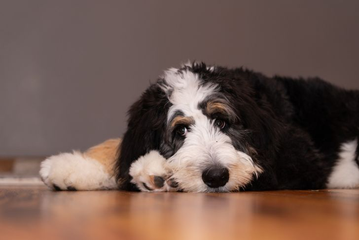 5 month old bernedoodle thinking on the floor