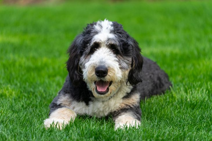 Ten-month-old bernedoodle puppy on a lawn.