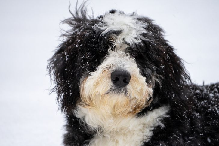 Bernedoodle puppy sitting in April snow in Wisconsin.
