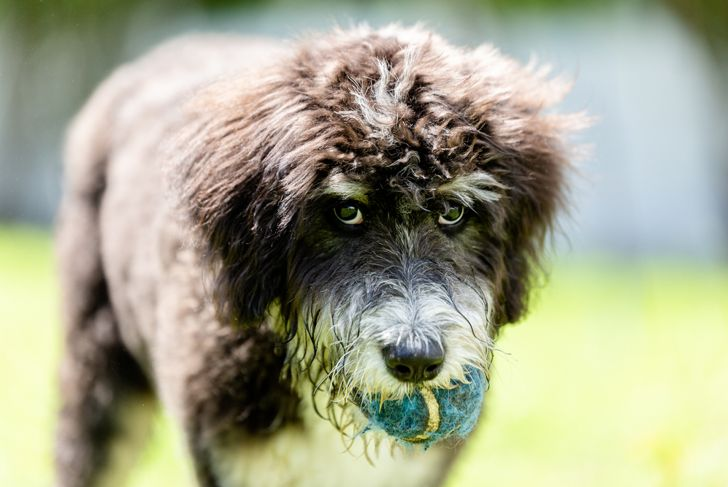 Bernedoodle puppy with a ball