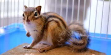 What to Know Before Adopting a Chipmunk