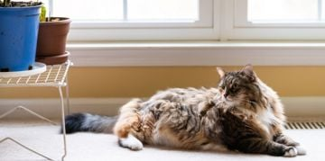 More to Love: The Largest Domestic Cat Breeds