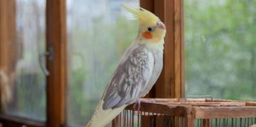 Caring for Your Cockatiel Companion