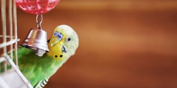 The Playful and Personable Parakeet