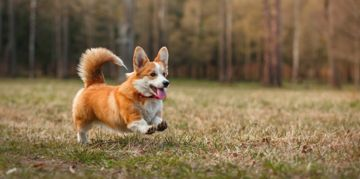Pembroke Welsh Corgi: Short Dog, Big Personality