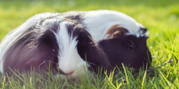 Your New Best Friend is a Peruvian Guinea Pig