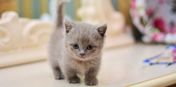 The Munchkin Cat: Lots to Love in a Small Package