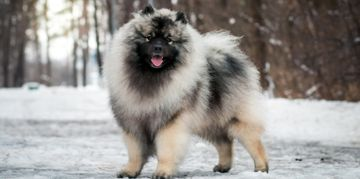 The Charismatic Keeshond